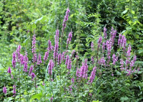 2 lythrum salicaria romilly 29 juil 2012 027.jpg