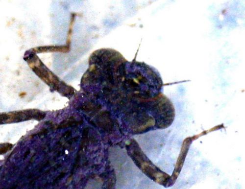 larve tête eau p 21 février 022.jpg