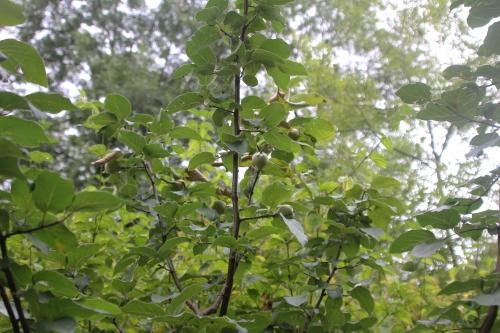3 cydonia aromatnaya 19 juil 2015 161 (1).jpg