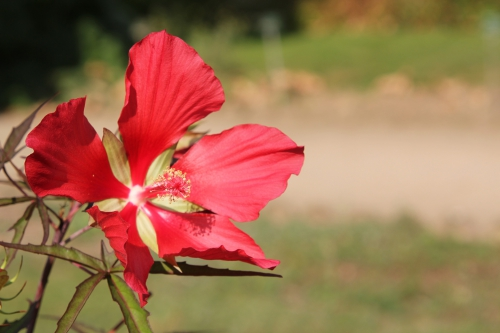 1 hibiscus coccineus paris 24 sept 2011 084.jpg