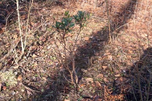 arbutus rongé romi 17 janvier 008.jpg