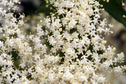 nigra corymbe romi 23 mai 014.jpg
