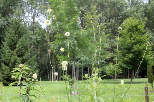 2 cephalaria 30 juin 2012 065 (1).jpg