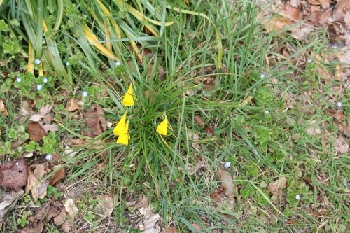 1 narcissus bulbocodium veneux 24 mars 2016 003.jpg