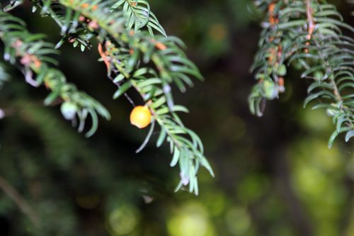 taxus fructo luteo marnay 21 sept 2013 145 (3).jpg