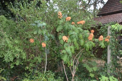5 hydrangea quercifolia veneux 4 sept 2016 007.jpg