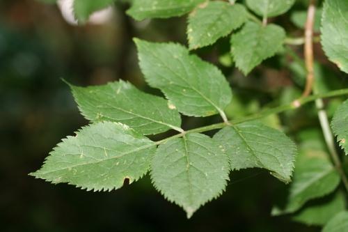 7 nigra feuilles 27 juillet 2008 001.jpg