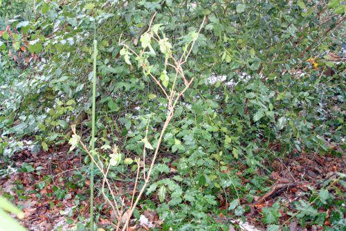 pyramidalis veneux 14 janvier 022.jpg