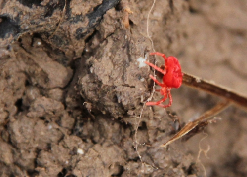 acarien rouge romi 15 avril 2015 123 (1).jpg