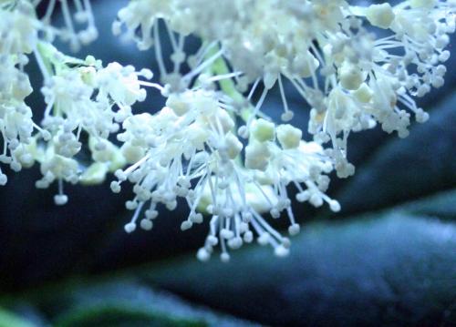 7 arborescens fl 14 juil  2010 018.jpg