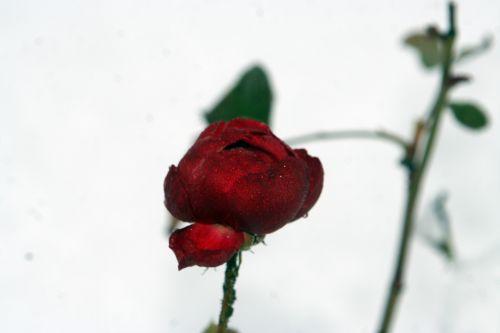rose neige 20 déc 2010 034.jpg