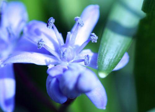 scilla fleur veneux 15 mars 007.jpg