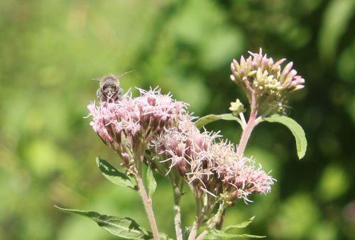 eupatoire abeille romilly 22 août 2012 025.jpg