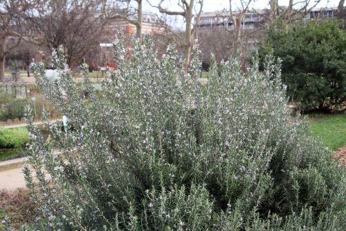 rosmarinus 1 paris 21 janv 2012 096.jpg