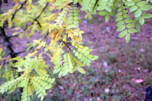 2 gleditsia vestita gb 6 oct 2012 198.jpg