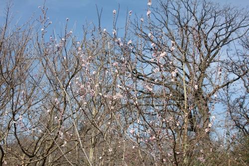 2 prunus dulcis paris 6 mars 2015 014.jpg
