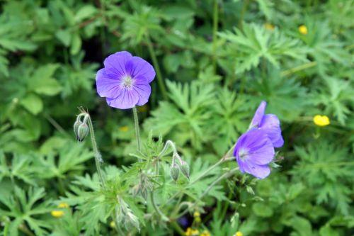 7 geranium orion fe romi 28 mai 020.jpg