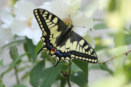 7 machaon veneux 9 juin 2016 006.jpg