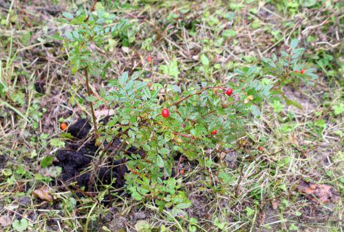 1 rosa fruits 1 oct 039.jpg