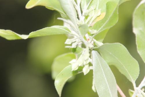 4 elaeagnus multiflora romi 25 avril 2017 024.jpg