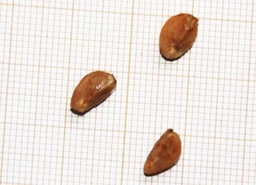 7 crataegus pedicellata 4 dec 2015 010.jpg