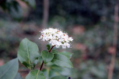viburnum tinus 1 veneux 11 fev 2014 003 (1).jpg