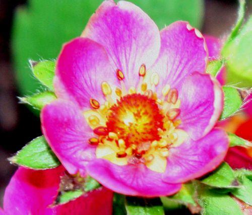 fraisier fl rouge romi 11 avril 044.jpg