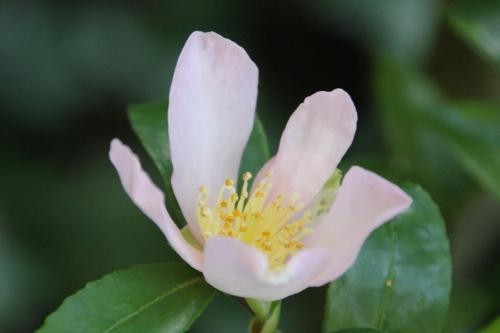 6 camellia sasanqua veneux 1 nov 2014 017 (4).jpg
