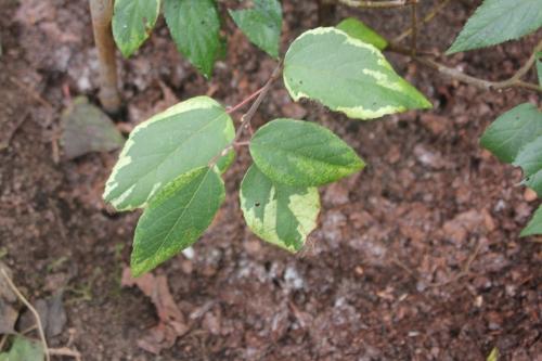 2 aristotelia chilensis romi 25 nov 2014 028 (2).jpg