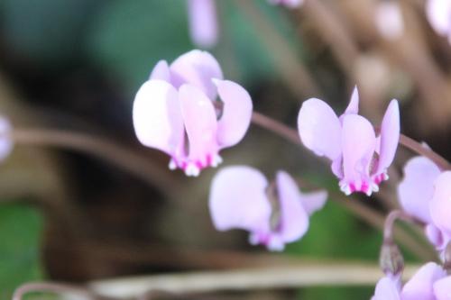 10 cyclamen hederifolium veneux 25 sept 2016 009.jpg