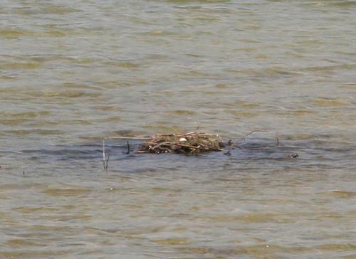 6 grebes nid 22 avril 055.jpg