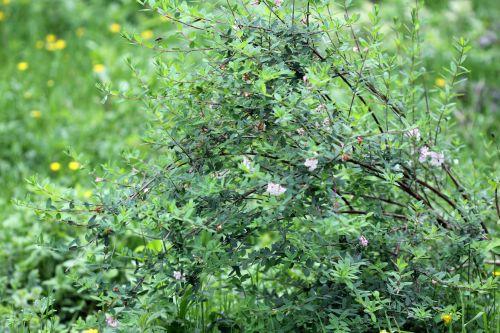 1 lonicera syringantha romi 11 mai 2012 086.jpg