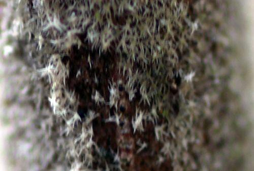 viburnum lantana poils romi 3 mars 2013 141.jpg
