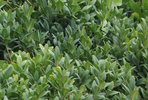 1 buxus semper feuilles paris 21 juil 2012 043.jpg