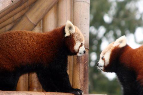 petit panda face a face 9 fev 059.jpg