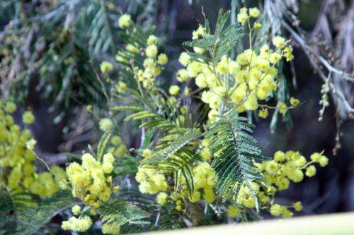 acacia paris 23 mars 048.jpg