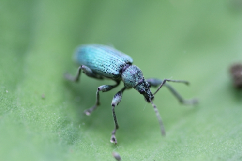 5 phyllobius romi 18 mai 2014 025 (2).jpg