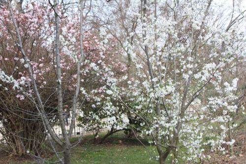 8 myrobolan paris 18 mars 2015 010.jpg