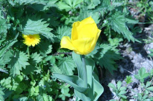 tulipe romi 25 avril 006.jpg