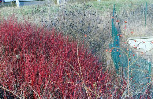 rouge noir cyno 16 février 016.jpg