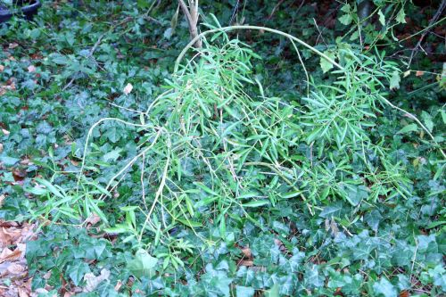 choysia veneux 14 janv 028.jpg