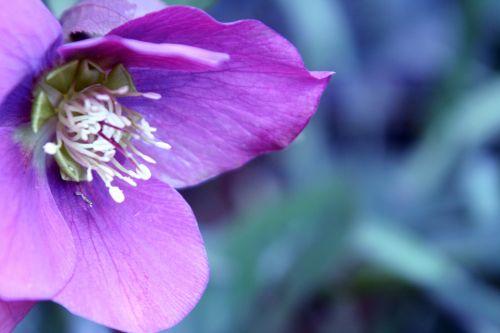 8 hellébore veneux 22 mars 022.jpg