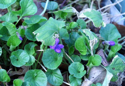 violette parf 23 mars 008.jpg