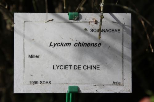 1 m lycium chinense marnay 21 sept 2013 040 (11).jpg