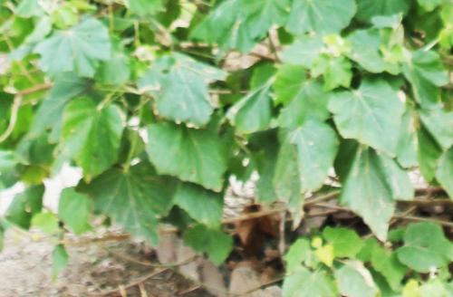 1 phymosia umbellata feu paris 10 fév 2015 026.jpg
