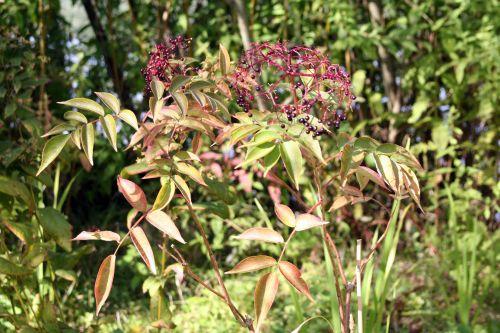 canadensis rose trifou 20 sept 031.jpg