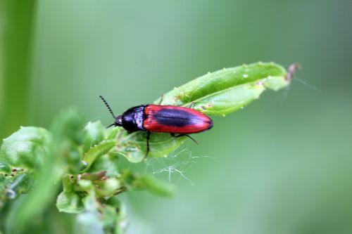4 ampedus sanguinolentus romi 30 mai 2012 093 p (5).jpg