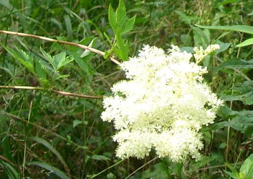 4 filipendula fleurs juillet 2008 041.jpg