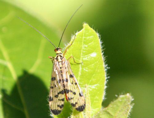 femelle mouche scorpion veneux 30 avril 007.jpg