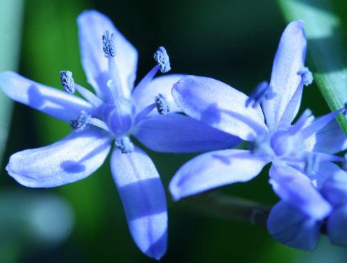scilla fleurs veneux 15 mars 003.jpg